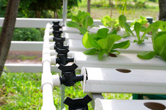 The Step set grown vegetable Hydroponic And How to grow carefully. Royalty Free Stock Image