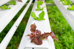 The Step set grown vegetable Hydroponic And How to grow carefully. Stock Images