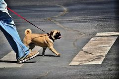Step for step pug dog and man royalty free stock photo