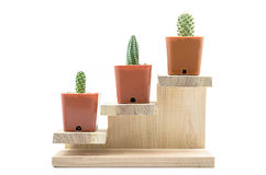 Step to grow up of Cactus. Stock Photography