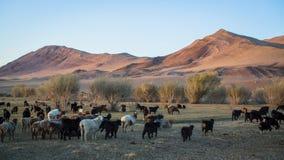 Step z kierdlem cakle i góry w Zachodnim Mongolia Podróż Zdjęcia Royalty Free