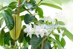 Stephanotis Royalty Free Stock Images