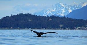 Stephens Passage Whale-het letten op stock foto