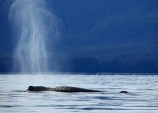 Stephens Passage Whale-het letten op stock fotografie