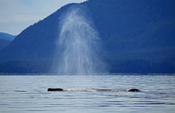 Stephens Passage Whale watching Royalty Free Stock Images