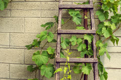 Stepladder laying above the wall in vineyard Royalty Free Stock Photography