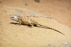 Stepowy agama (Trapelus sanguinolentus) Fotografia Royalty Free
