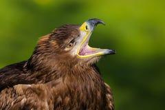 Stepowy Eagle Aquila nipalensis ptak zdobycz obrazy royalty free