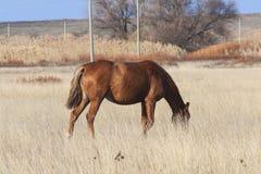 Stepowy koń Zdjęcia Stock