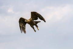 Aguila rapax Zdjęcie Stock