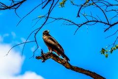 Stepowy myszołów umieszczał na gałąź w Kruger parku narodowym Zdjęcie Stock