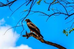 Stepowy myszołów umieszczał na gałąź w Kruger parku narodowym Fotografia Stock