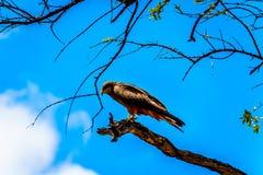 Stepowy myszołów umieszczał na gałąź w Kruger parku narodowym Obrazy Royalty Free