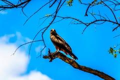 Stepowy myszołów umieszczał na gałąź w Kruger parku narodowym Fotografia Royalty Free
