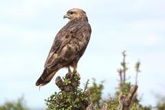 Stepowy myszołowa ptak zdobycz Zdjęcia Stock