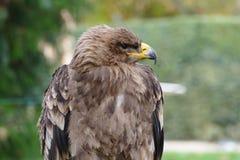 Stepowy orła zbliżenia portret Obrazy Royalty Free