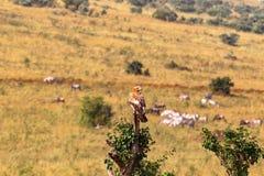 Stepowy orzeł na drzewie Mara kenya masai obrazy stock