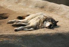 Stepowy wilk Zdjęcie Stock