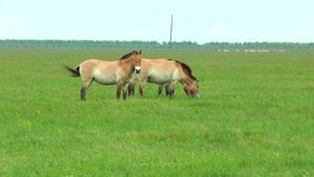 Steppa del cavallo di Przewalski in primavera stock footage