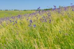 Steppa ucraina invasa con i fiori blu alla stagione primaverile tarda immagine stock
