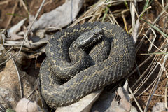 Steppe adder-1. Steppe adder basking in spring sunshine-1 Royalty Free Stock Photos