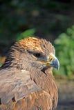 Steppe-Adler Stockfotos