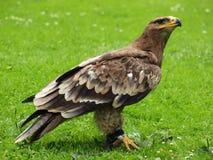Steppe-Adler - Aquila nipalensis Stockfotografie