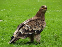 Steppe-Adler - Aquila nipalensis Lizenzfreie Stockfotografie