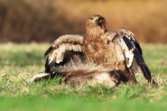 Steppe-Adler (Aquila nipalensis) Lizenzfreie Stockfotos