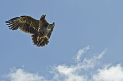 Steppe-Adler im Flug Lizenzfreies Stockfoto