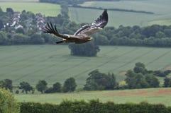 Steppe-Adler im Flug Lizenzfreie Stockfotos