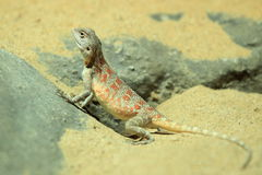 Steppe agama Stock Image