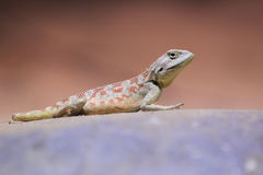 Steppe agama Royalty Free Stock Photo
