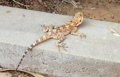 Steppe agama lizard Royalty Free Stock Photography