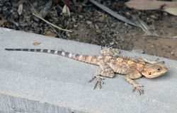 Steppe agama lizard Royalty Free Stock Photo