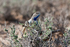 Steppe agama male Trapelus sanguinolentus. Resting on glasswort bush in Kyzyl-Kum desert, Uzbekistan Stock Image
