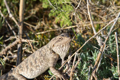 Steppe agama Royalty Free Stock Image