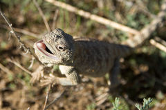 Steppe agama Royalty Free Stock Photography