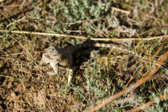 Steppe agama Stock Images