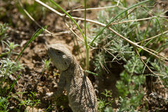 Steppe agama Royalty Free Stock Images