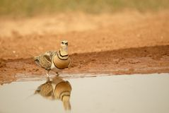 Steppe bird (gangue) Stock Images