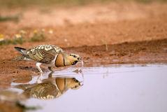 Steppe birds in the pond Stock Images