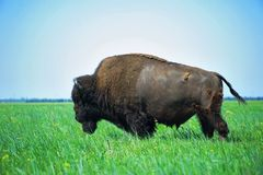 In the steppe bison Stock Photo