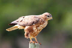 Steppe-Bussard Stockbild