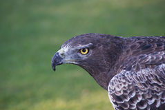 Steppe Buzzard Photo libre de droits