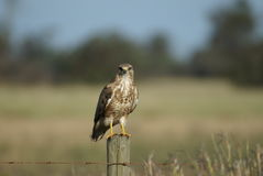 Steppe Buzzard Image stock