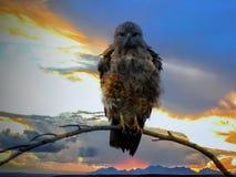 Steppe Buzzard au coucher du soleil en Afrique Photos stock