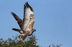 Steppe Buzzard Bird of Prey Stock Photos