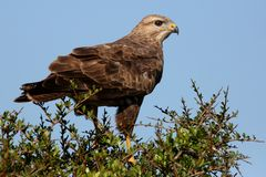 Steppe Buzzard Bird of Prey Royalty Free Stock Image