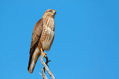 Steppe buzzard on a branch Stock Image